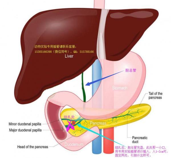 胆汁排泄实验动物模型及方法建立图示教程