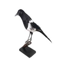 漯河风帆FF高校教学及科研用剥制标本动物剥制标本标本鸟类等